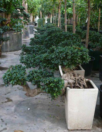 Wuchsform Ficus Bueropflanzen Mieten Akzente Raumbegruenung