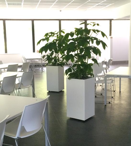 Cafeteria, Mensa, bepflanzte Raumteiler, Schefflera, akzente raumbegrünung