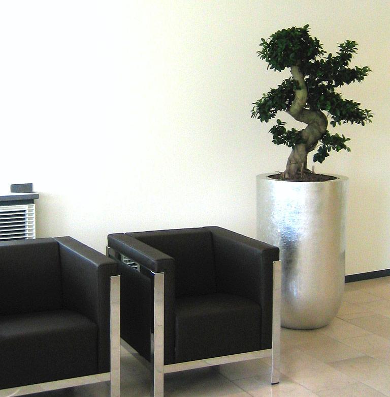 Bepflanzung Empfang, Ficus Bonsai, akzente raumbegrünung