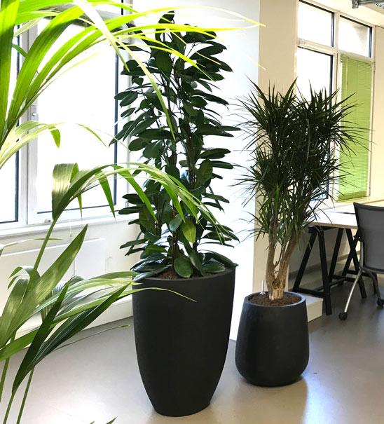 Pflanzen im Büro, akzente raumbegrünung