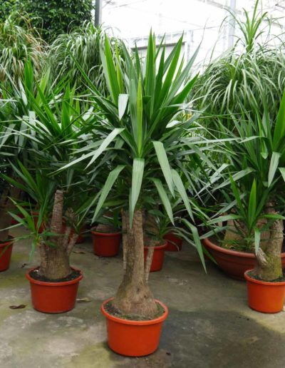 Yucca Erdpflanze Buerobegruenung Akzente Raumbegruenung